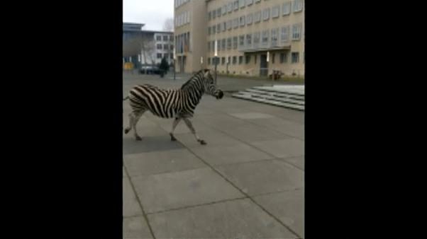 Zebra races through German city after escaping from circus