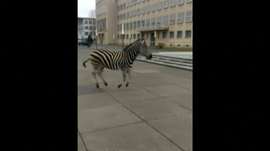 Zebras fogem de circo e trotam por cidade alemã