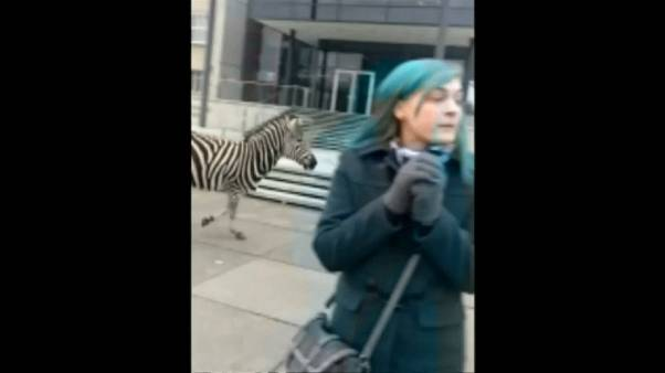 Ausgebüxt: 4 Zebras in Dresden, eins ist gestorben