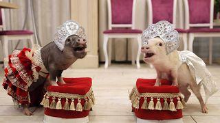 В Год Свиньи - с микро-пигом!