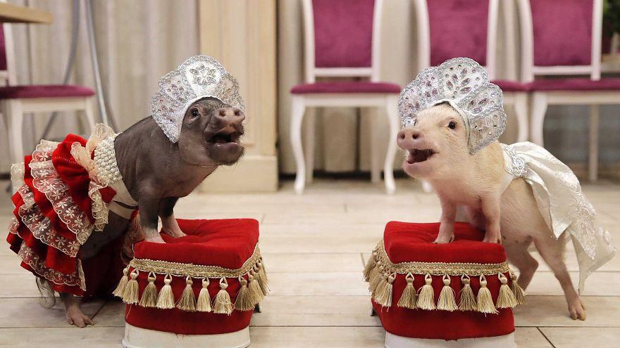 Minischwein-Hype: Russland feiert das Jahr des Schweins