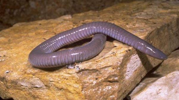 درموفيس ميكسيكانو - عديم أرجل برمائي من نفس فصيلة دونالد ترامبي