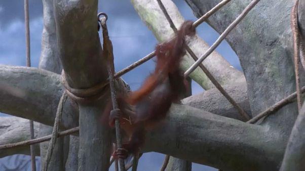 Heidi the orangutan celebrates 2nd birthday in Chicago Zoo