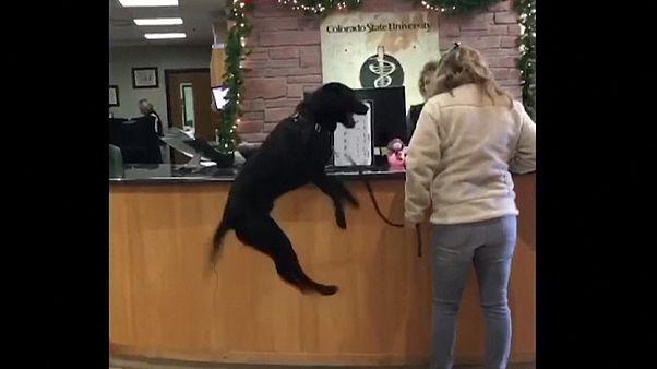 ΗΠΑ: Σκύλος ανυπομονεί να συναντήσει τον κτηνίατρό του!