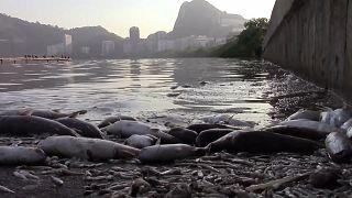 Massen-Fischsterben in Rio de Janeiro