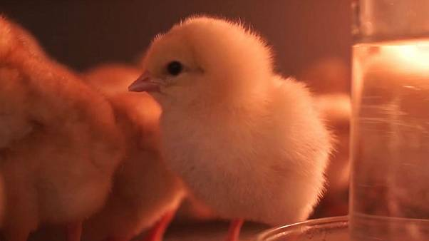 Germany: New way to determine gender of chicken eggs could