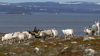 A herd of reindeer on the Finnmark Plateau, Norway, June 16, 2018.