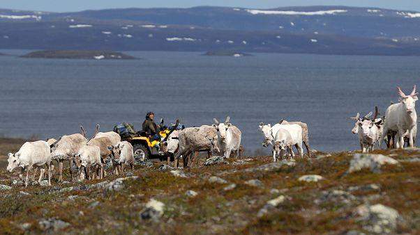 A herd of reindeer on the Finnmark Plateau, Norway, June 16, 2018.