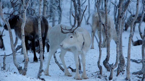 Video | Küresel ısınma yüzünden 'Noel Baba'nın ren geyikleri küçülüyor