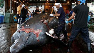 Japonya ticari balina avcılığını kendine bağlı sularda sürdürecek