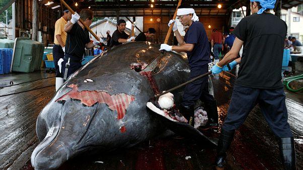 Επιστρέφει στη φαλαινοθηρία για εμπορικούς σκοπούς η Ιαπωνία