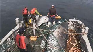 اليابان تنسحب من اللجنة الدولية لصيد الحيتان وانتقادات دولية للقرار