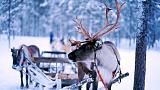 Climate change: Arctic reindeer are seriously affected