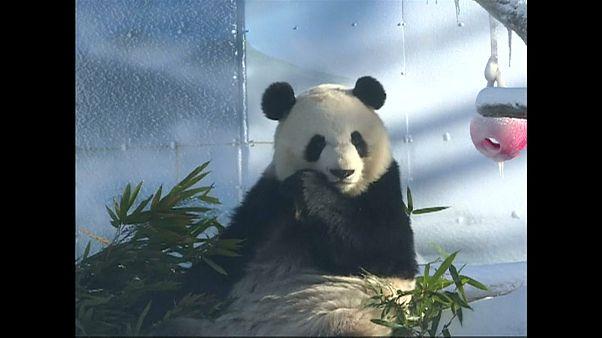 شاهد: زوج باندا يلعب ويمرح في الثلج ويأكل البامبو في حديقة في الصين