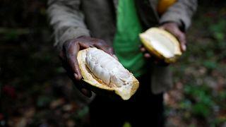 Már a kakaóbizniszre is rátette kezét a venezuelai kormány