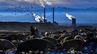 Műanyag palacokat gyűjt egy nő táplálékot kereső sertések között
