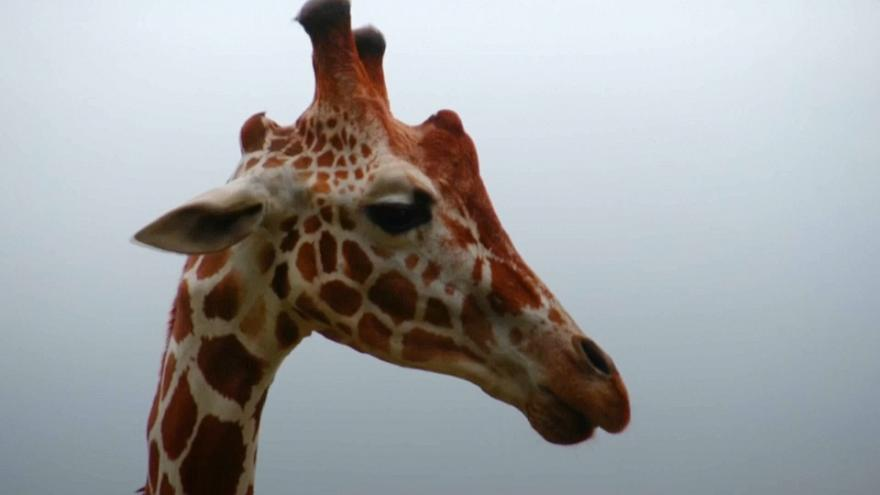 Costa Rica park creates giraffe gene bank to help protect the species