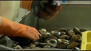 El tráfico ilegal de almejas compite con la droga