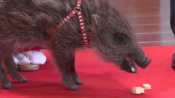 شاهد: اليابان تحتفل بالانتقال من عام الكلب إلى عام الخنزير البري