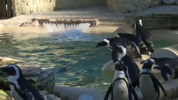 I pinguini del Capo sbarcano al Bioparco di Roma