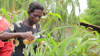 Video | Malavili çiftçilerin tuz ve acı biberli böcekle mücadelesi