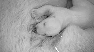 Watch: First footage released of polar bear cub born at Berlin Zoo