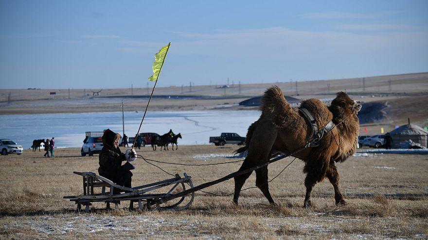 Video | Moğolların geleneksel Naadam festivalinde deve yarışları düzenlendi