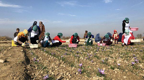 افغانستان؛ کشت زعفران تجارتی پُر سود برای زنان افغان