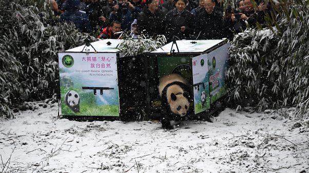 """Panda """"Xiao Hetao"""" (Little Walnut) in China's Longxi-Hongkou Nature Reserve"""