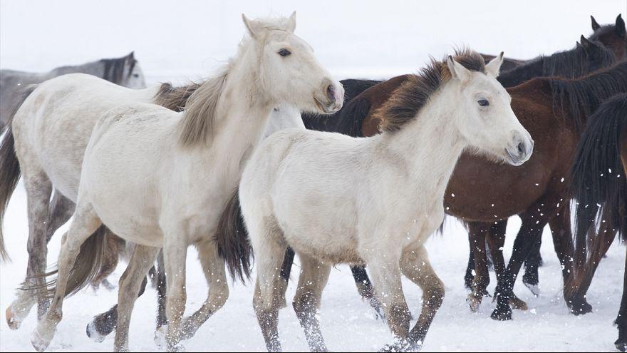 Video | Bir zamanlar Anadolu'da terk edilen yılkı atları bugün turistlerin gözdesi oldu