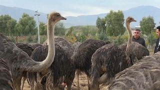 شاهد: مزرعة لتربية طيور النعام في السليمانية بالعراق