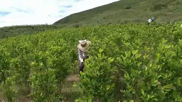 Kiirtanák a kokacserjék felét Kolumbiában