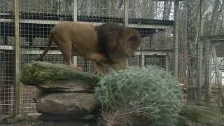 A lion at the Claws 'n Paws Wild Animal Park inspects his Christmas tree