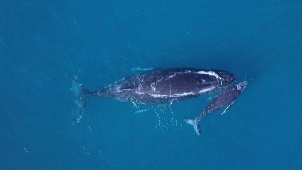 Sainte-Marie, le havre de paix des baleines