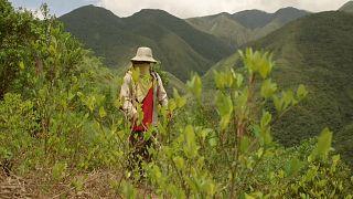 La coca mata a las abejas de Bolivia
