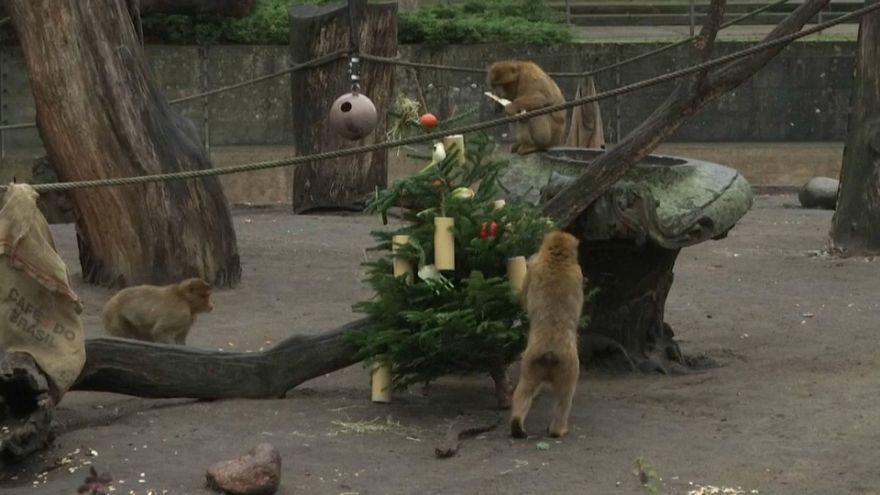 شاهد: شجيرات أعياد الميلاد انتهت كوجبات في حديقة حيوان برلين