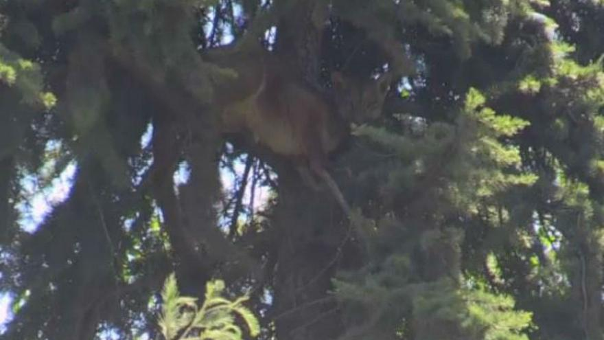 Wild puma stuck in tree for 15 hours in Chile