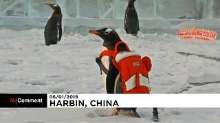 شاهد: طيور بطريق تستمتع بالتزحلق على الجليد