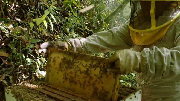 Bolivia: i pesticidi della coca stanno uccidendo le api
