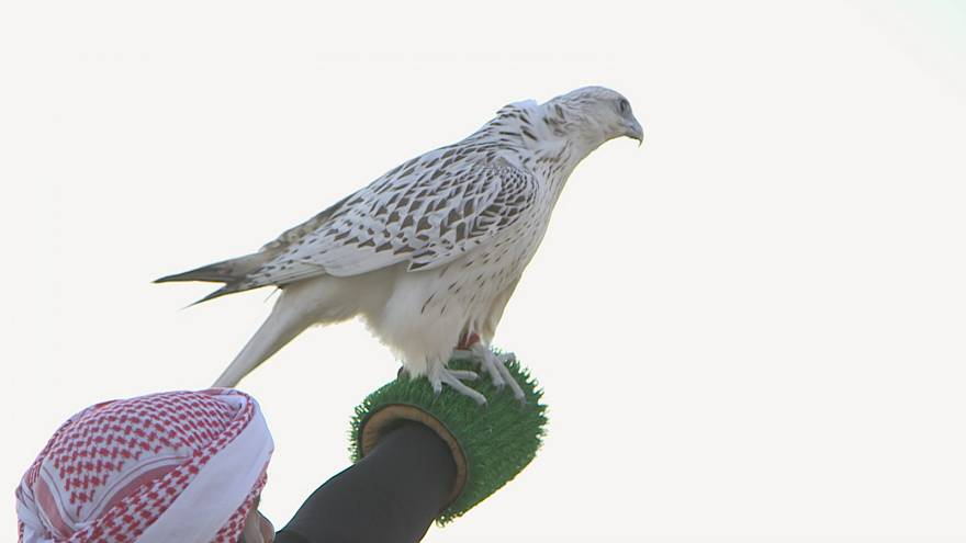 Endangered falcons race to make a comeback in the Gulf
