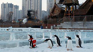 چین؛ رژه پنگوئنها در هوای منفی ۱۵ درجه سانتیگراد
