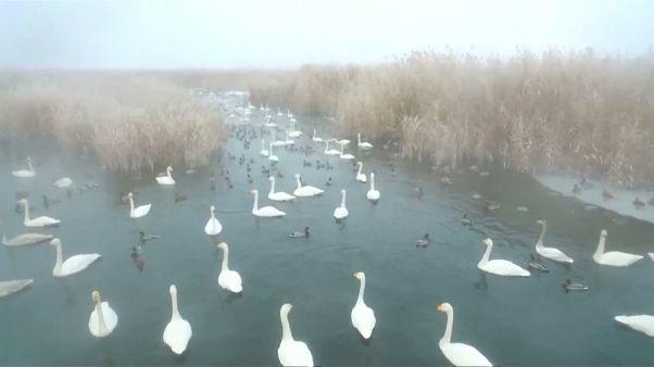 شاهد: 300 بجعة تحط الرحال في حديقة مسطحات مائية صينية