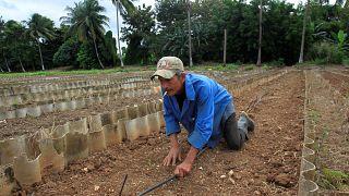 Photo prétexte agriculteur Cuba : attaques acoustiques = chants de grillons