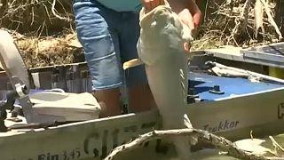 شاهد: نفوق مئات آلاف الأسماك في نهر أسترالي