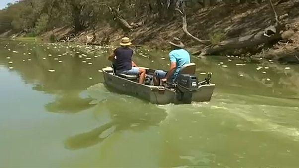 Több százezer hal pusztult el egy ausztrál folyóban