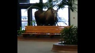 Moose on the loose in Alaska hospital building