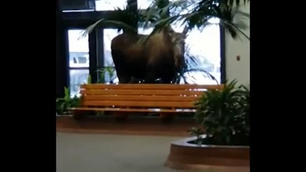 Moose on the loose in Alaska hospital building