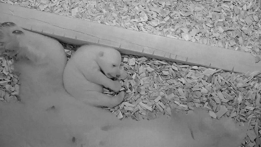 Eisbärenbaby öffnet Augen