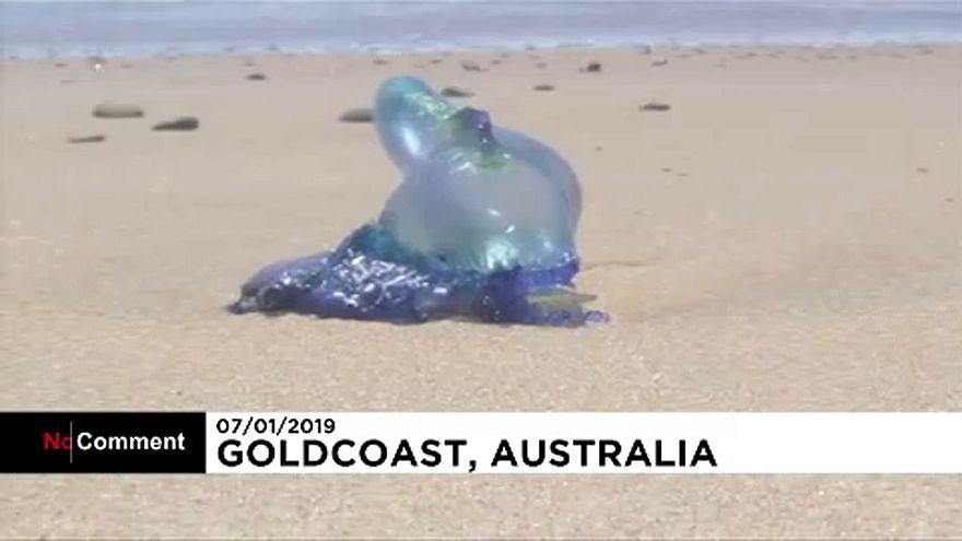 Tömeges halpusztulás és medúzainvázió Ausztráliában