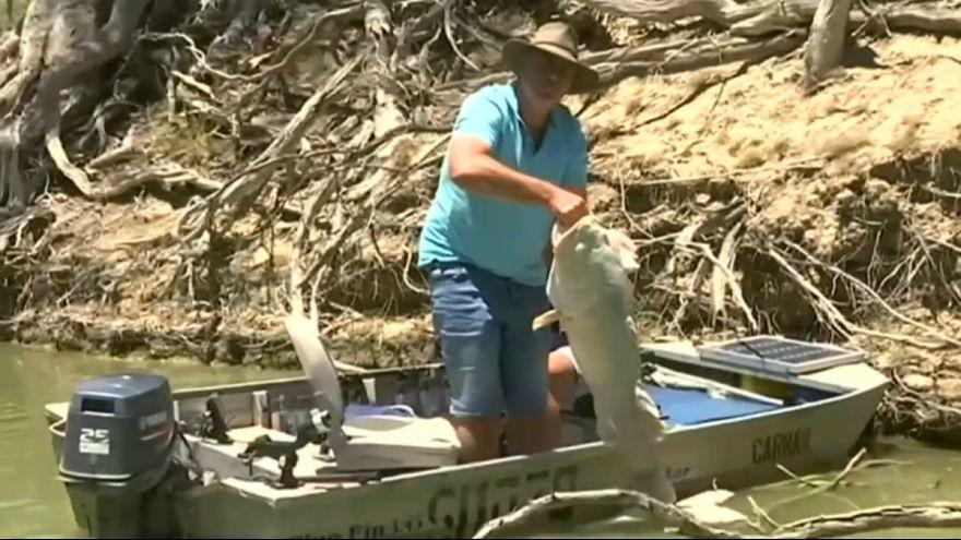 استرالیا؛ صدها هزار ماهی در اثر کمبود اکسیژن در آب خفه شدند